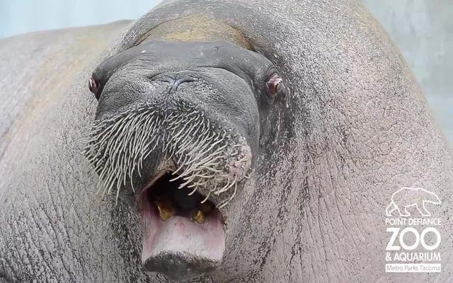 Ебут моржа