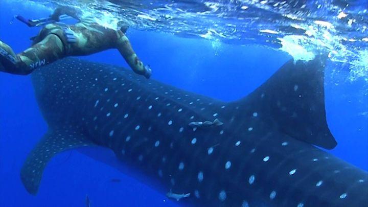 Смотреть картинки китовых акул