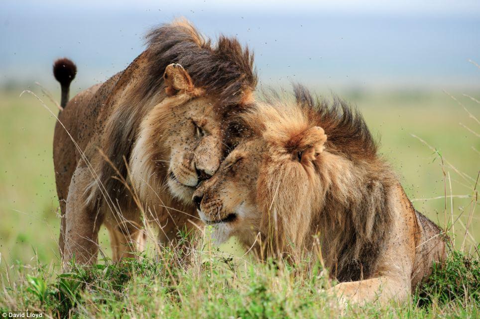 жизнь львов в дикой природе видео - 4