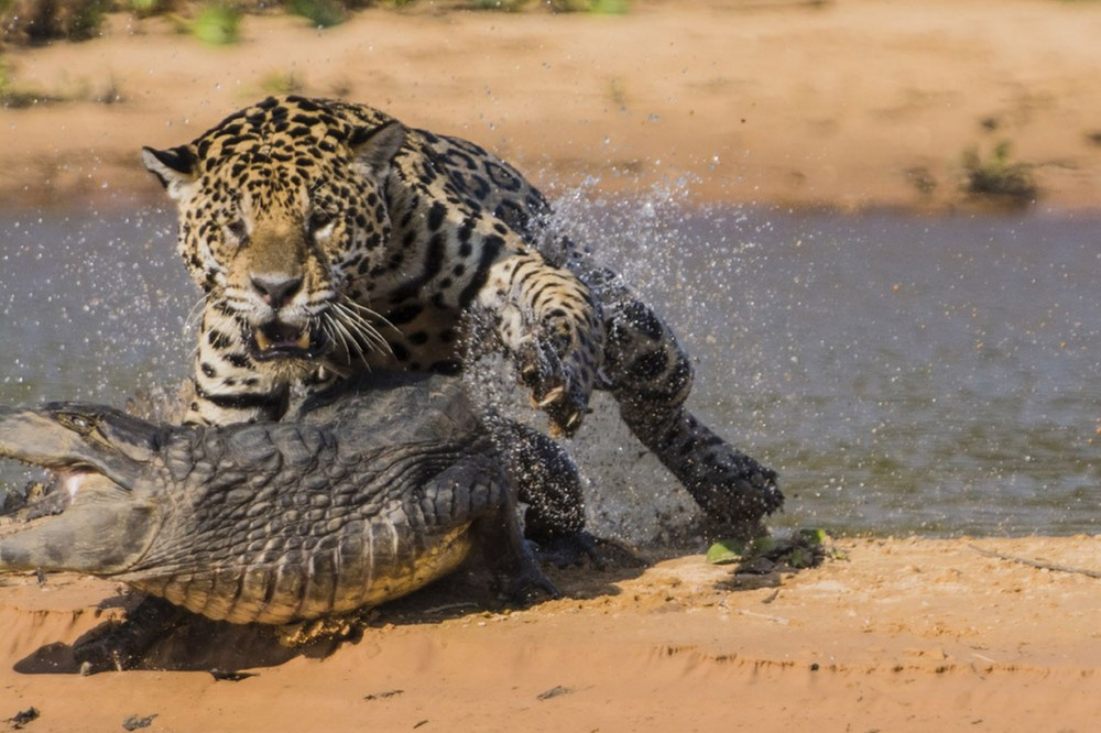 могу ягуар с крокодилом фото что