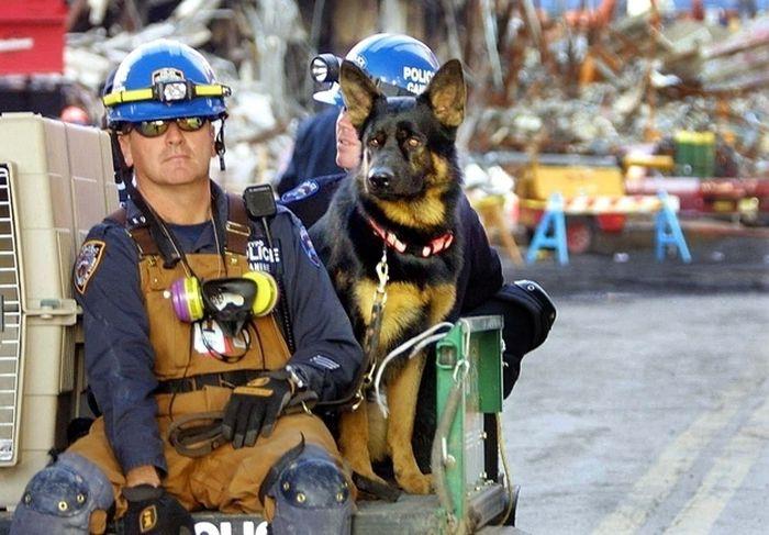 Собаки-спасатели после терракта 11 сентября героизм, животные