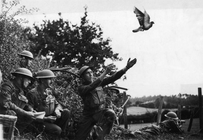Шер Ами-голубь во время Первой Мировой героизм, животные