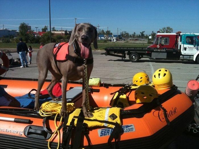 Лили-собака-спасатель героизм, животные