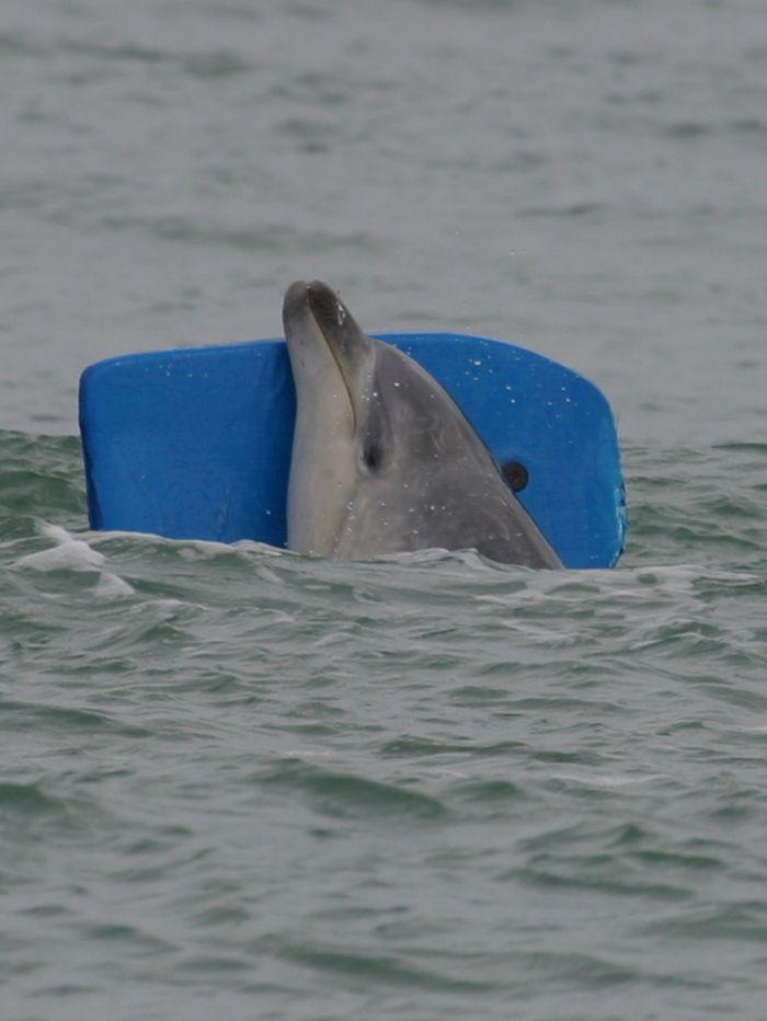 Дельфин Моко, спасший китов героизм, животные