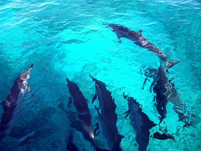 Дельфины, спасшие серфингиста от акулы героизм, животные