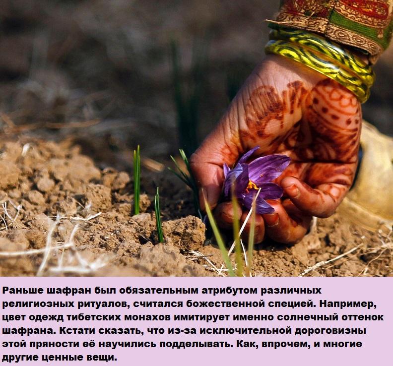 Драгоценный цветок Шафран интересное, истории, красота, факты, фото