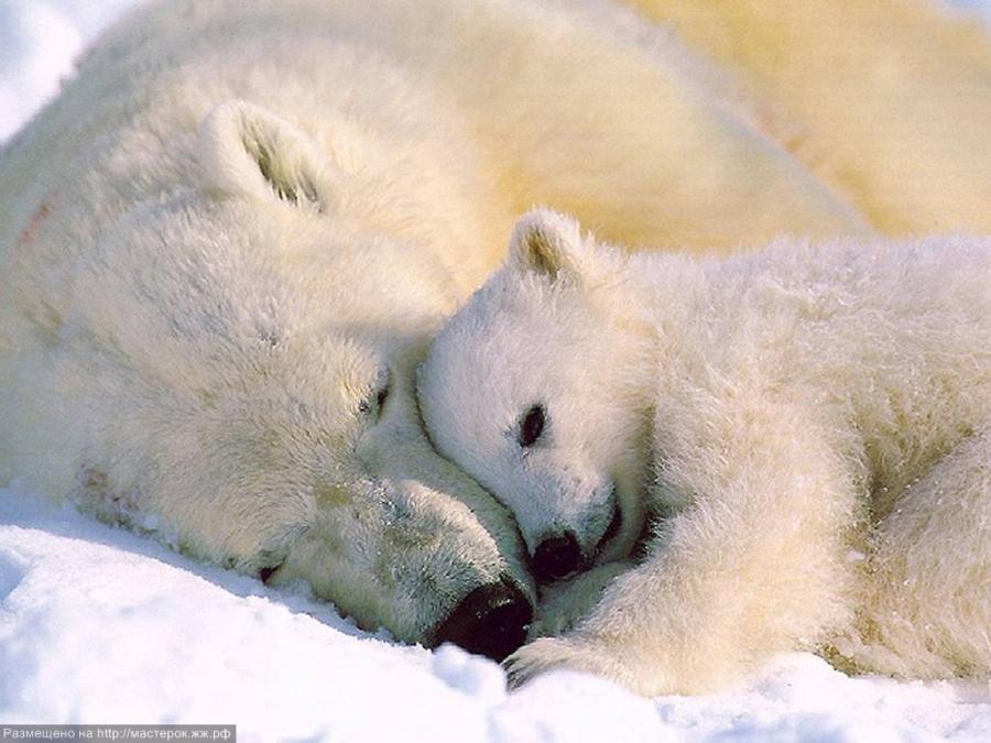 белый медвежатами фото медведь с