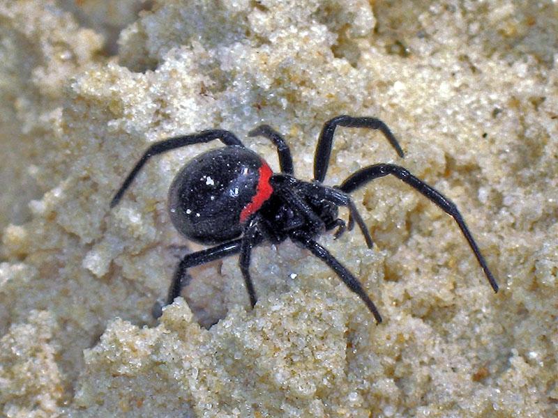нее паук каракурт в крыму фото рубина много