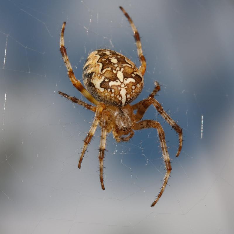 Виды пауков в сибири фото