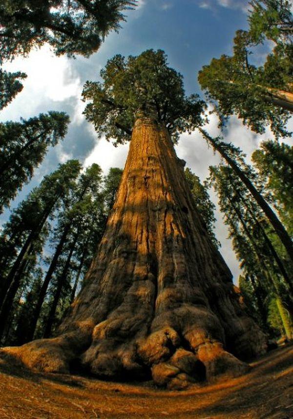 большие деревья фотографии смолянинов очень