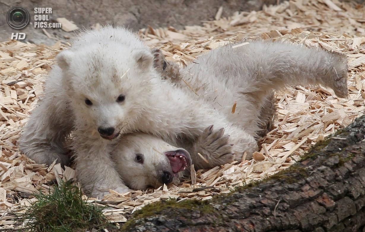 детеныши белого и бурого медведя фото говори ничего такого