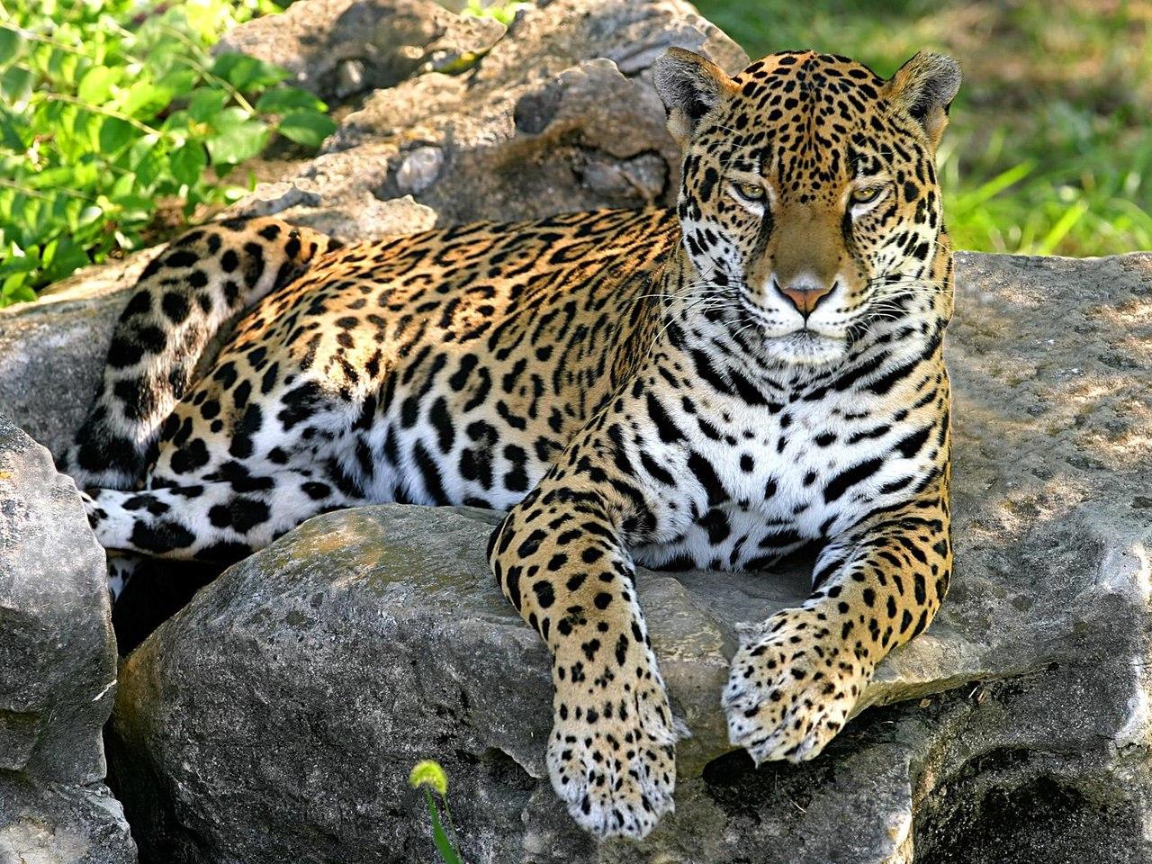 7e2c89a9dd8c Леопард от Иван за 09 апреля 2014 кошка, леопард