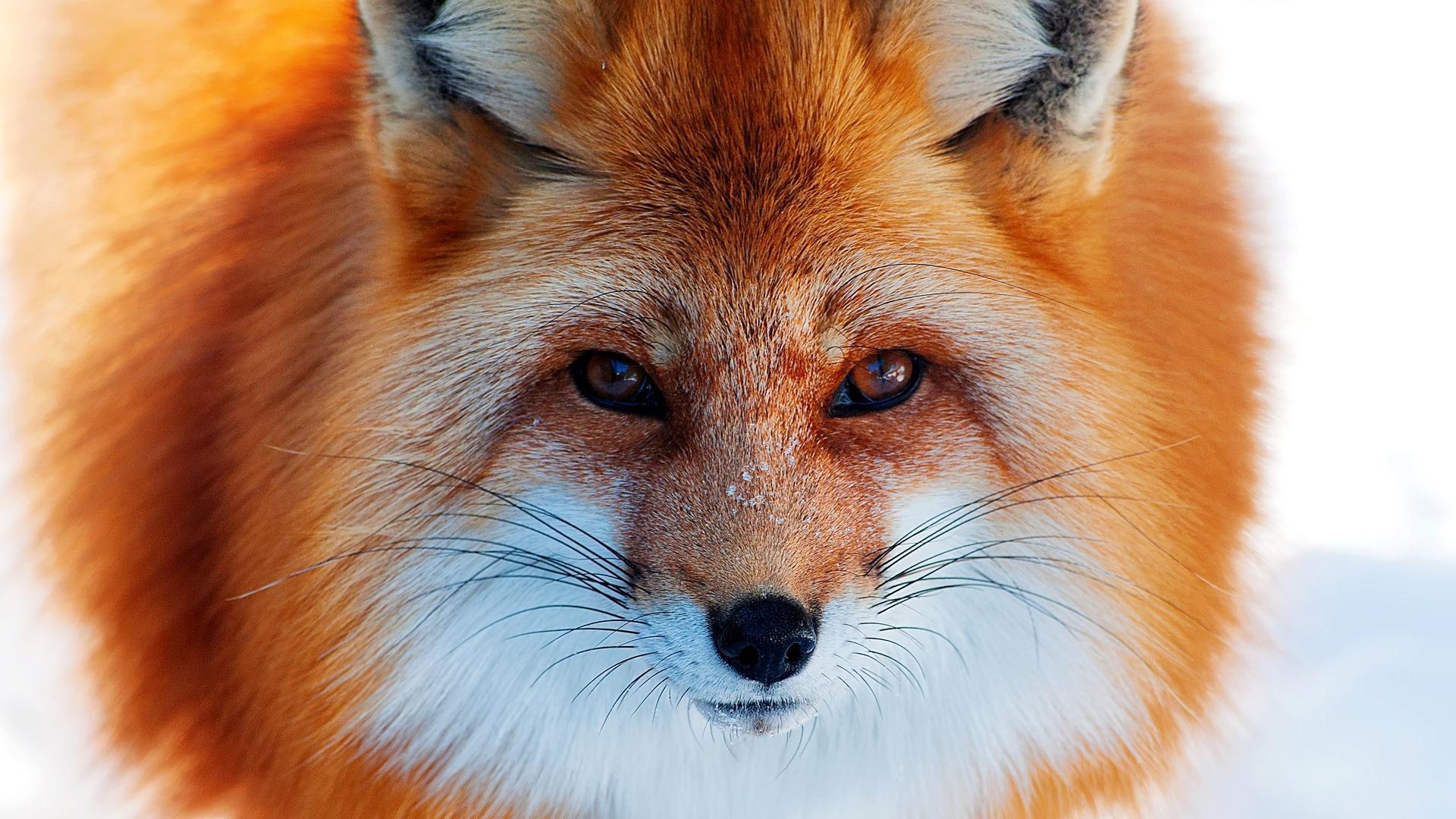 """Результат пошуку зображень за запитом """"рыжая лисица анимации"""""""