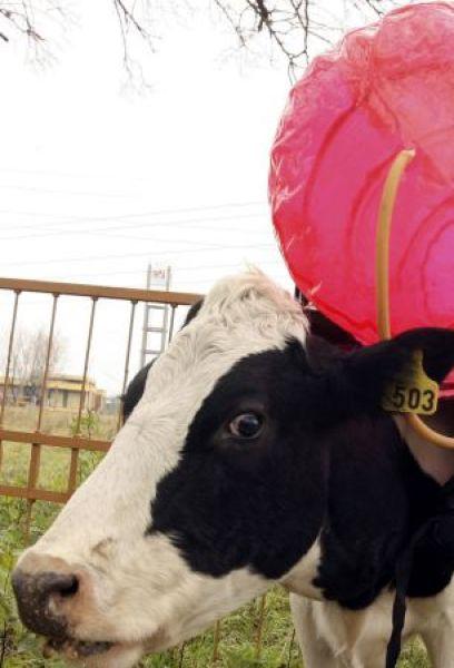 Авария и коровий секс