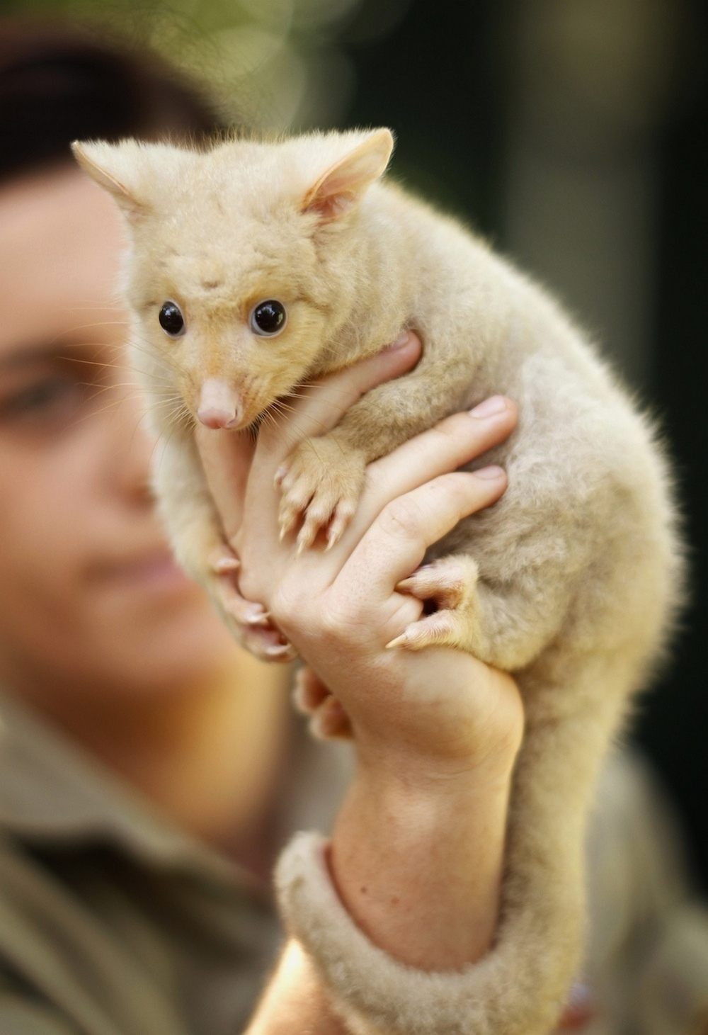 adorable golden brushtail possum - HD 990×1446