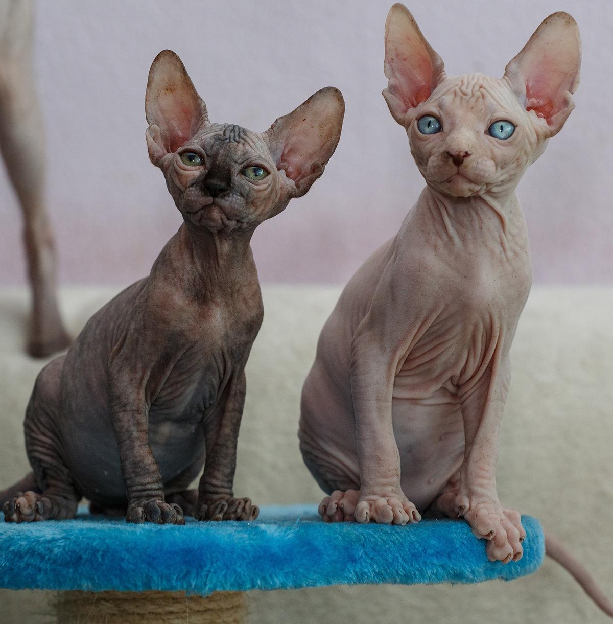 лучшие фото кошек сфинксов наряд