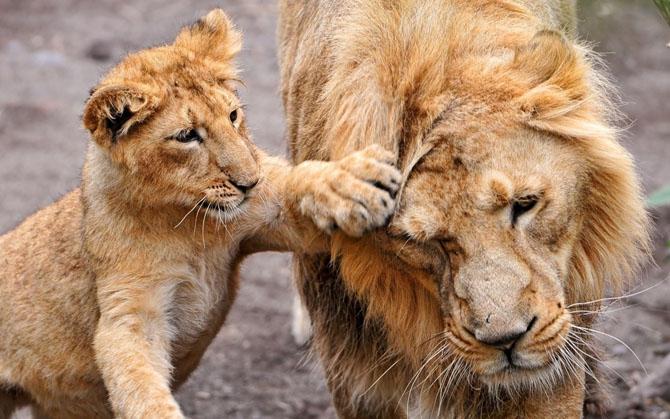 Любят ли львы жесткий секс