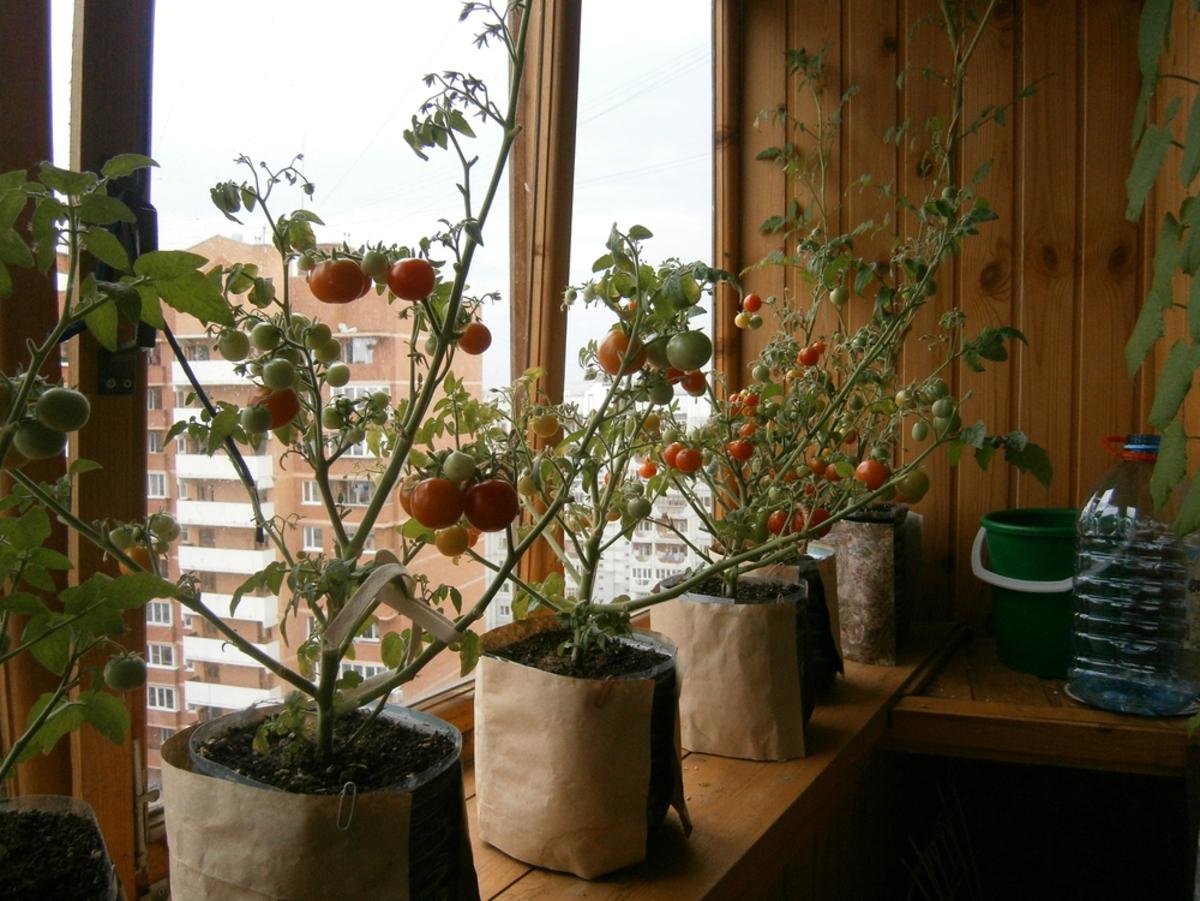 """Как выращивать томаты """"балконное чудо"""" в домашних условиях: ."""