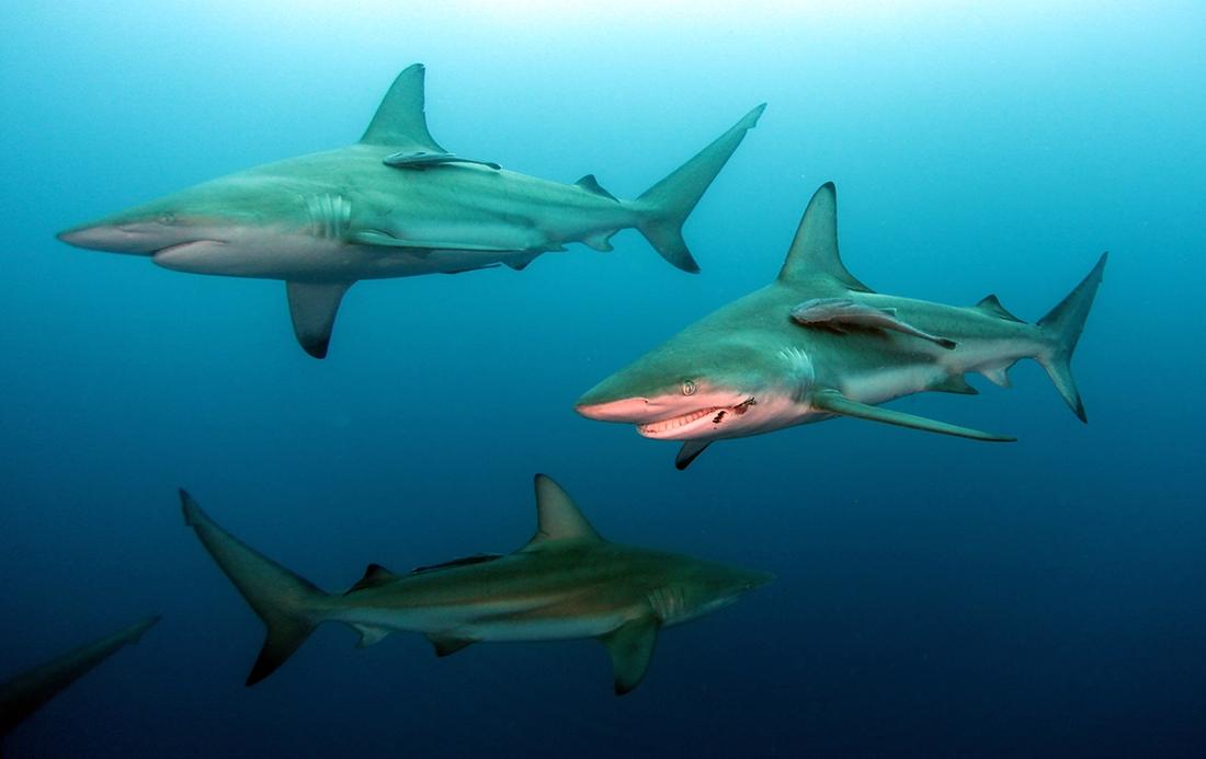 акулы всех видов фото с названиями графф элитная