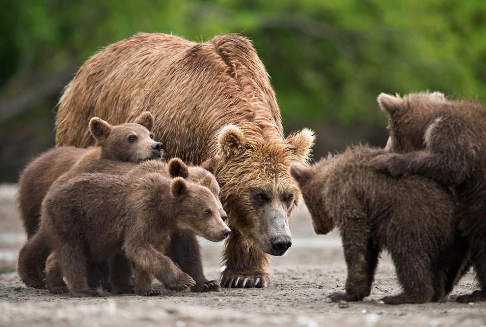 Медведь с медвежатами картинки для детей
