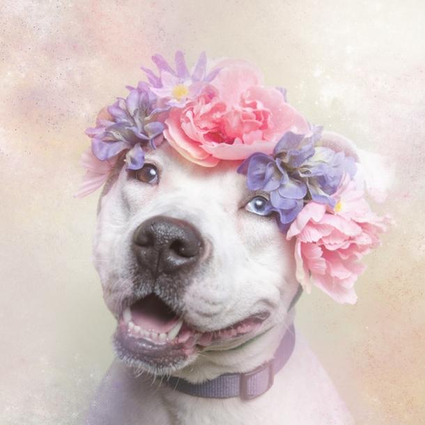 Романтические питбули в венках - благотворительный проект Софи Гаманд Софи Гаманд, собаки, фото