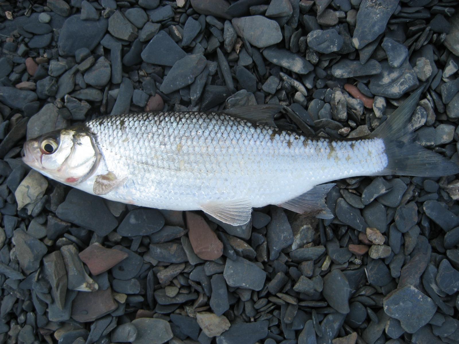 видела чебак рыба фото вынудившей
