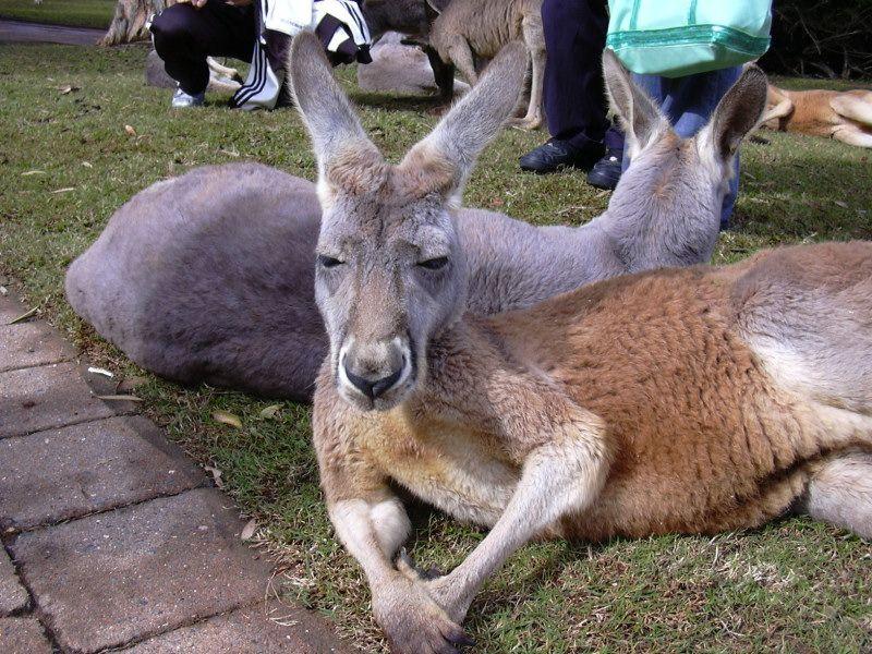 Про научное кенгуру видео