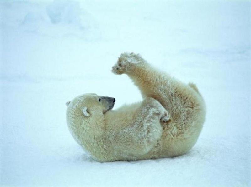 каша молоке: я люблю белых медведей рассмотрим характеристики