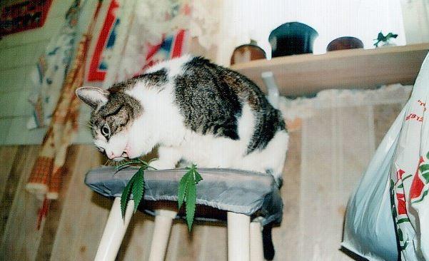 Кошки любят коноплю когда собирают коноплю