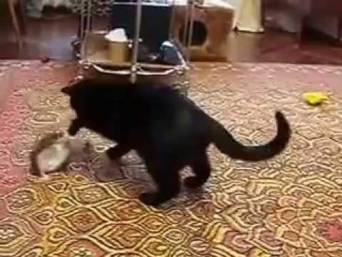 cat plays with squirrel
