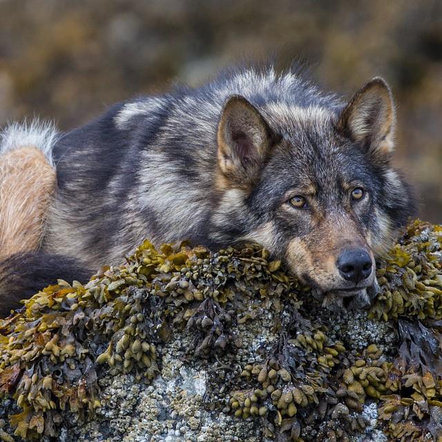 этом каждого лучшие фото волчары даже эта