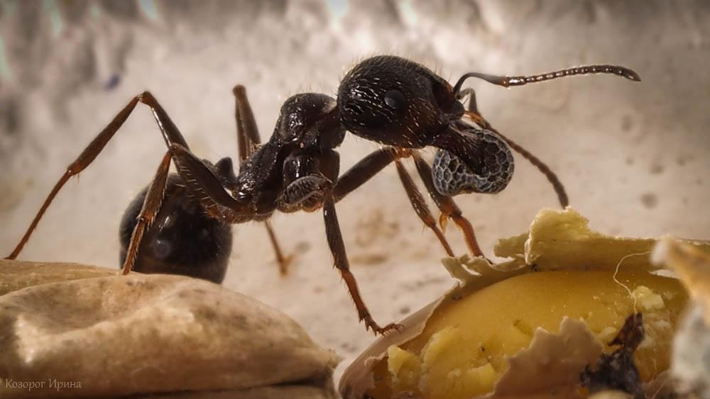 Картинки по запросу муравья ташить зерно