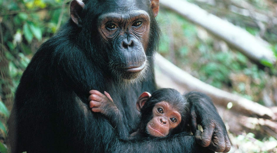 the nature of chimpanzees The chimpanzee is a species of ape that is natively found in a the human-like nature of chimpanzees has fascinated people for years both in science and.