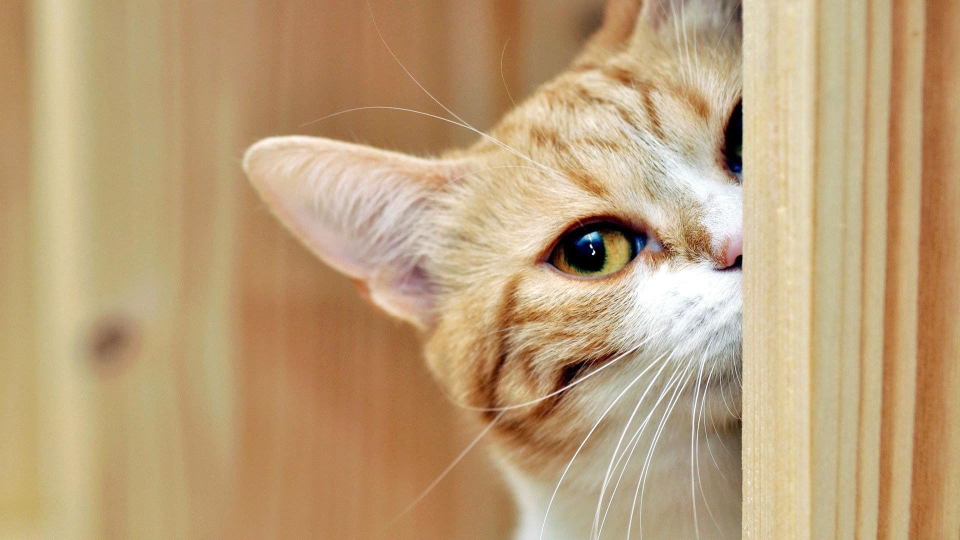 http://cdn.fishki.net/upload/post/201411/06/1324910/animals___cats_red_cat_peeping_044419_.jpg