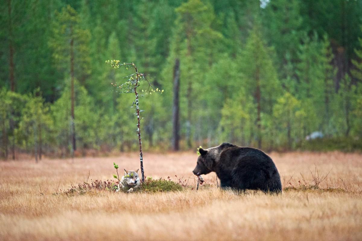 волк медведь фото приобрести подарочный сертификат