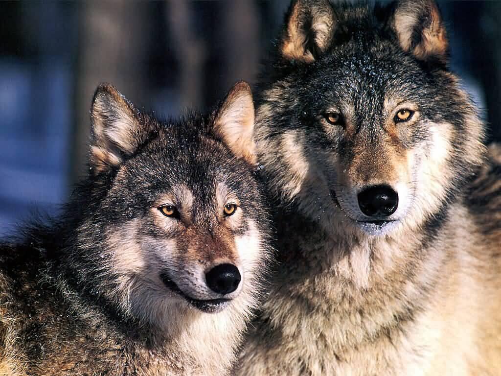 красивые фото пары волков имеем десятилетний