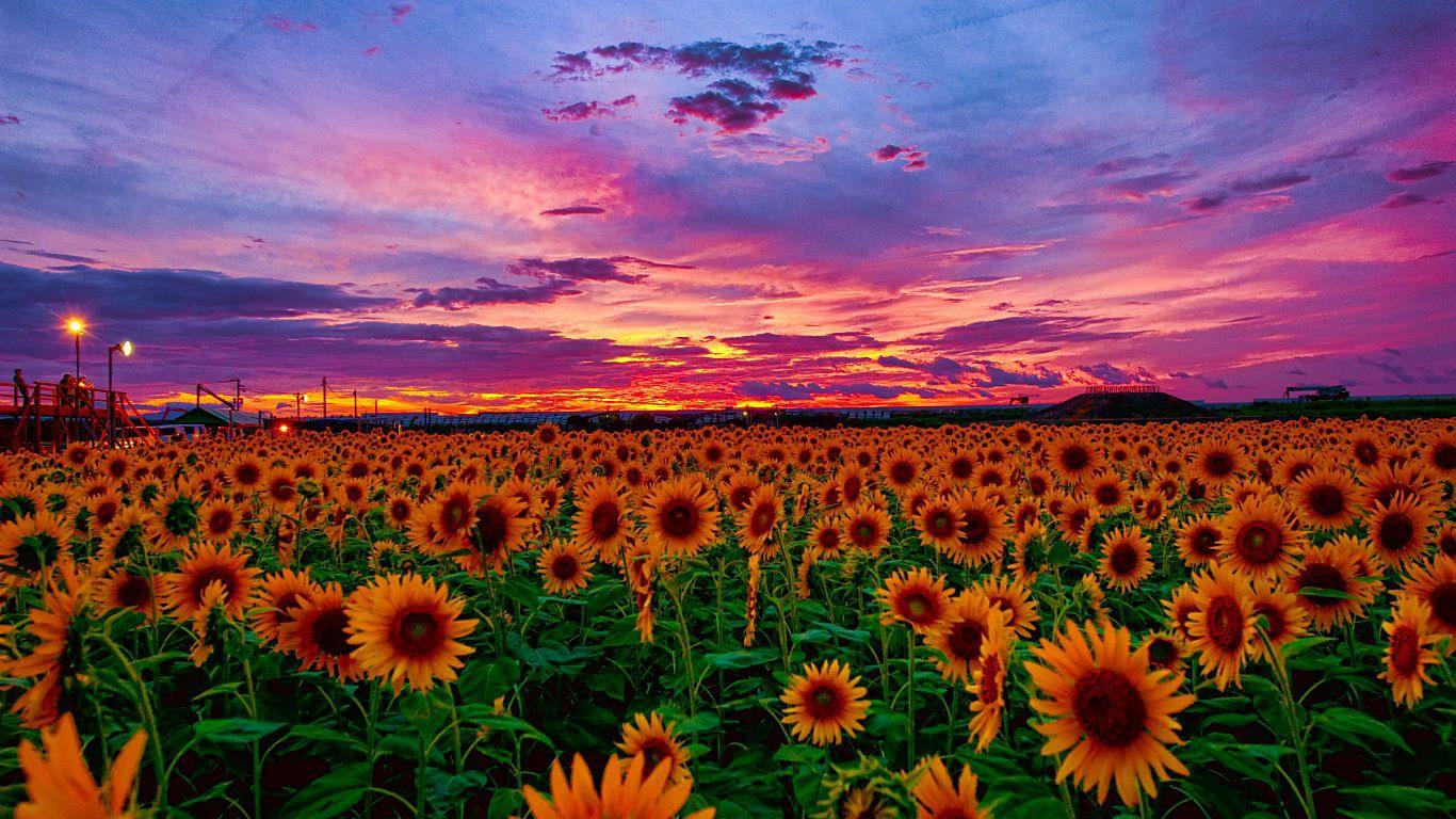 цветочная поляна закат бесплатно