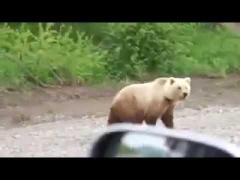Russians are not afraid of bears. Медведь на дороге.