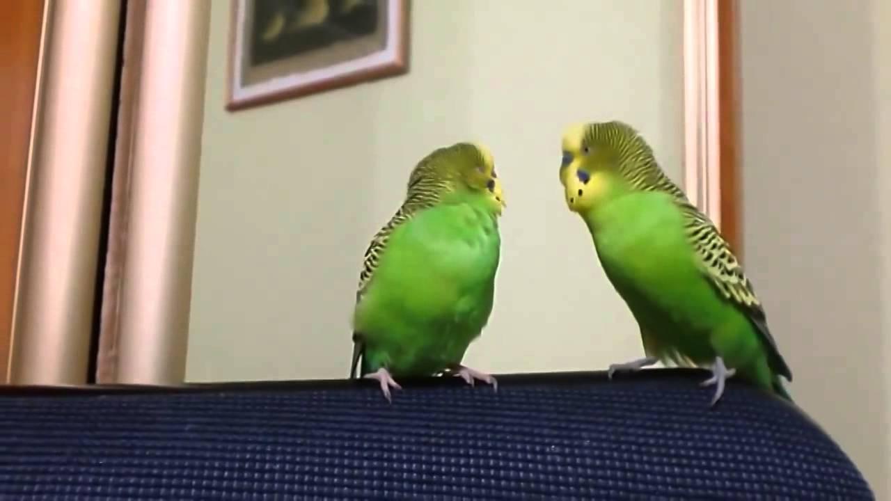 Попугайчик который видел секс