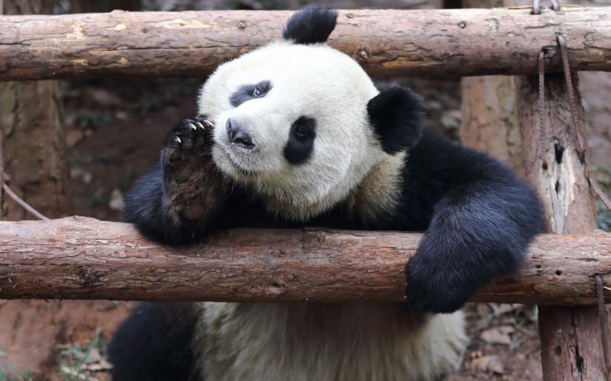 Пожеланием спокойной, панды картинки смешные