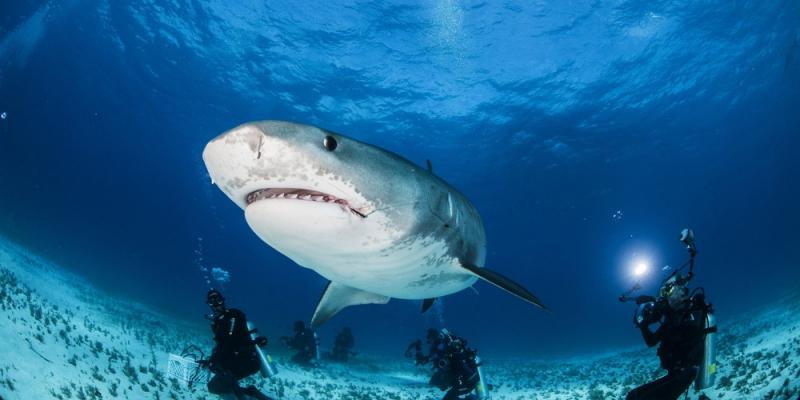 Пасть тигровой акулы
