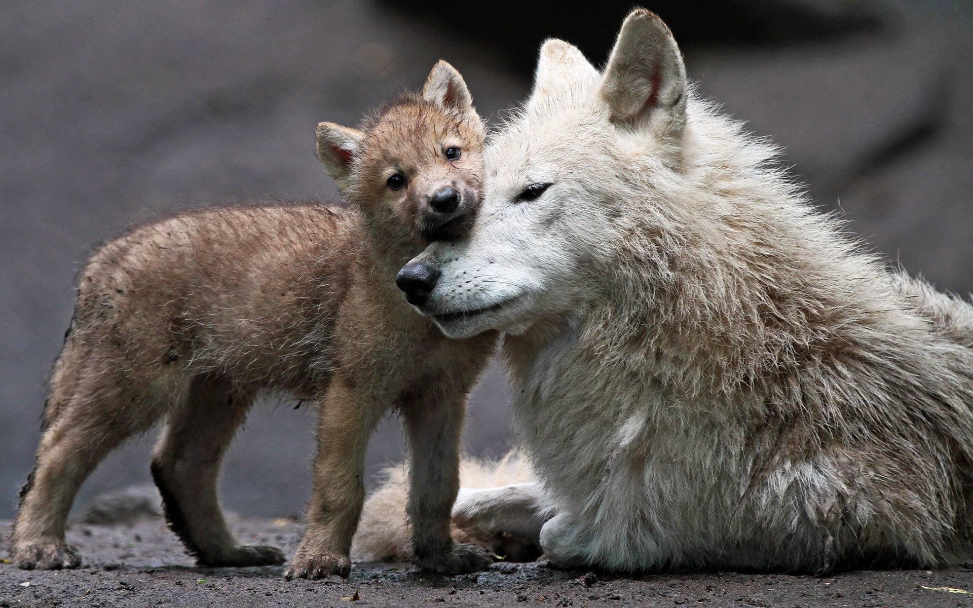 картинки волк и волчонок может быть