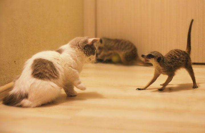 Сурикаты в роли домашних животных