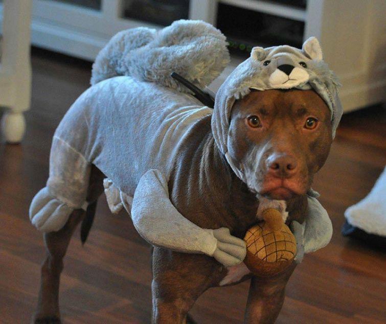 Resultado de imagen para собака pitbull смешной