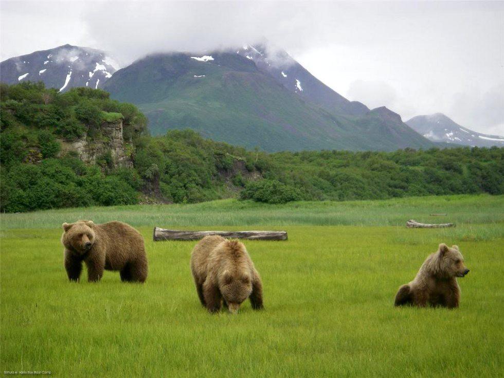 Медведи аляска картинки
