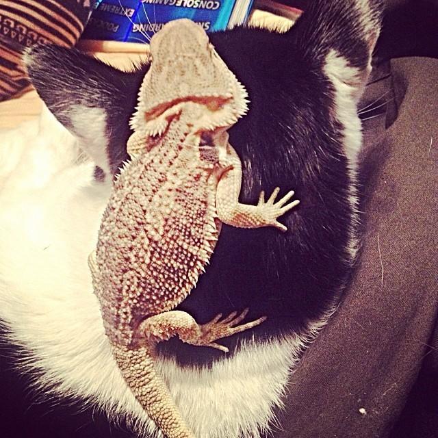 13. Голова кота - лучшая смотровая площадка  дружба, кошка, ящерица