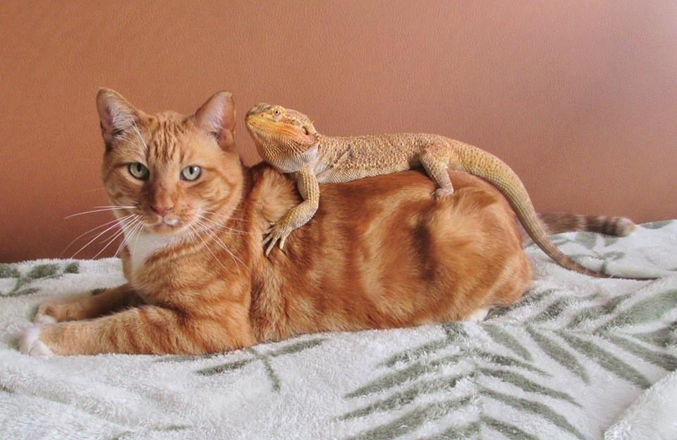 1. С таким-то сочетанием окраса - грех не сфотографироваться вместе дружба, кошка, ящерица