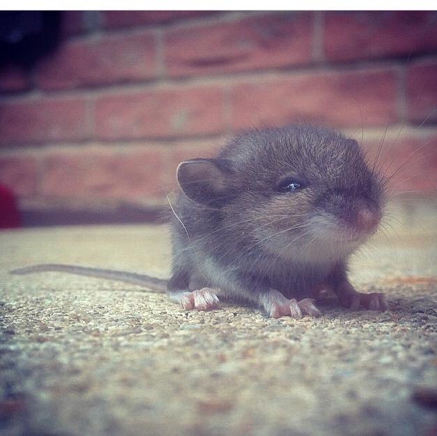 реалов фото грустной мышки различные породы