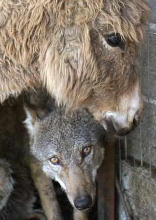 Трогательная история дружбы волка и старого ослика   волк, дружба, животные, осел