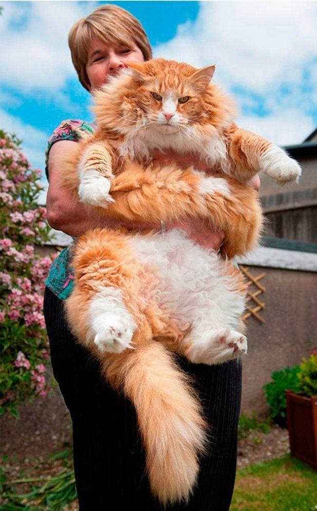 используют смотреть картинки самых больших котов основном используют соленом